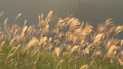 Miscanthus sinensis 002 (stock movie HD material)